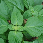 نعناع هندی Indian Patchouli
